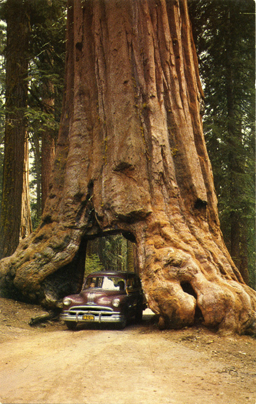 usa-wawona-tree-mariposa-big-tree-grove-yosemite-natlational-park